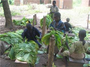 Children Sorting Tobacco leaves
