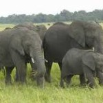 Kenya sees rise in its elephant population