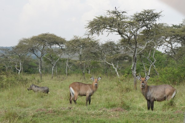 L-R A Warthog, and two Elands in Lake Mburo National Park
