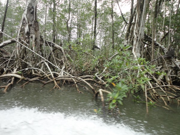 mangrove form necessary flood blockages
