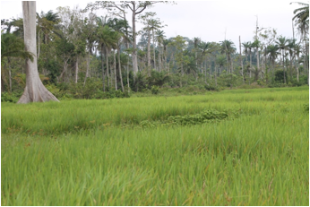Partial View of a 65 acre Rice Farm in Putuken, River Gee County