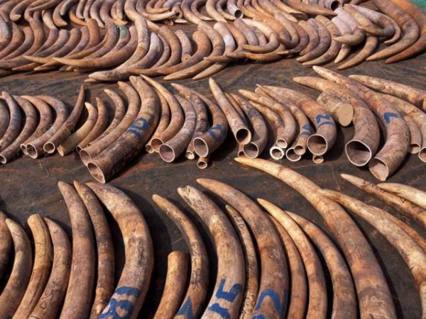 Some elephants tusks in Tanzania after the dealers being arrested