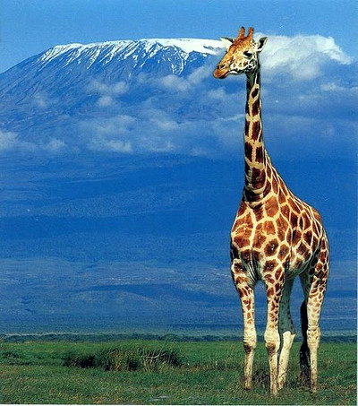 Giraffe in Tanzania's reserves being a symbol of the country's tourism industry