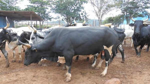 Sokoto State Cattle Breeding Project